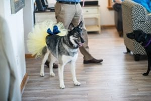 LawnGuru Basha Husky Wedding Ready
