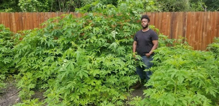Houston Faux Marijuana Lawn