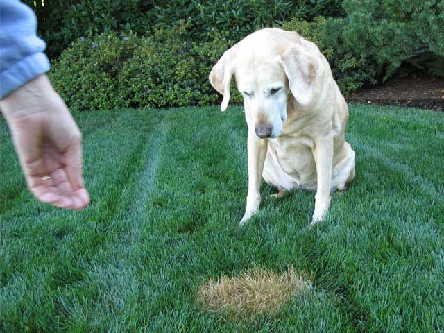 Dog urine on grass shouldn't stop you from loving your pup!