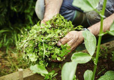 Gardener holding handful of weeds.